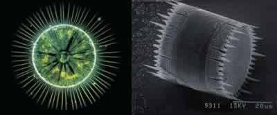 Diatomées vivantes