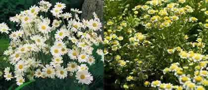 Fleurs Pyrèthre Dalmatie